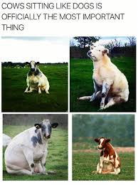 Sitting Meme - cows sitting like dogs meme