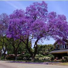 318 best bugenvilla jacaranda paulownia itp images on