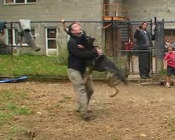 belgian sheepdog german shepherd mix attack trained dutch shepherd and german shepherd k9 1 com youtube