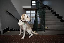 How To Train For Stair Climb by How To Teach Your Senior Dog To Use A Ramp Or Stairs
