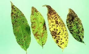 Plant Diseases Wikipedia - cherry leaf spot wikipedia