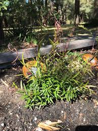hardy native australian plants yaralla new and native plants rivendell