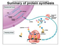 Dna Rna And Protein Synthesis Worksheet Transcription From Dna To Rna Ppt