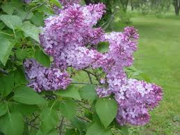 Shrub With Fragrant Purple Flowers - 9 deer resistant flowering shrubs to plant this fall