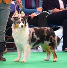 australian shepherd crufts 2015 pebbelscruft jpg