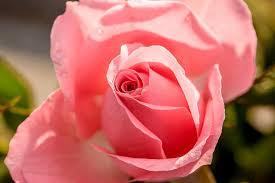 rose rose bloom flower blossom bloom flowers pink u2013 clean public