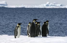 bigstock emperor penguins aptenodytes 7605156 jpg