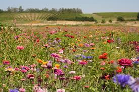summer wild flower ideas non native