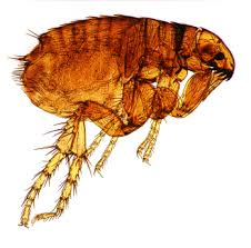 Do Bed Bugs Get On Dogs Fleas Or Bed Bugs