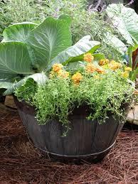 growing thyme bonnie plants