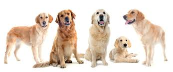 australian shepherd dog names golden retriever dog names naming dogs