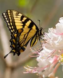 myths symbolism and meaning of yellow butterflies what does a