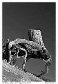 black and white picture photo tree stump with roots by