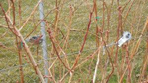 cost vs benefits of t trellis vs i trellis for berries general