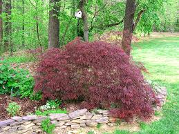 dwarf japanese maple twospoiledcats