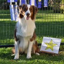 australian shepherd 2016 calendar top dog awards canadian national australian shepherd association