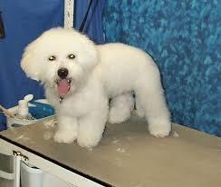 bichon frise grooming guide bichon puppy first groom bbird u0027s groomblog