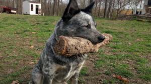 australian shepherd b c australian cattle dog 1 year 5 month old youtube