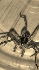 115 best spiders images on pinterest spider webs spiders and bugs