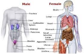 Human Anatomy Torso Diagram Topic Torso Archives Human Anatomy Educations