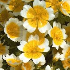 poached egg plant limnanthes douglasii is one of the flowering