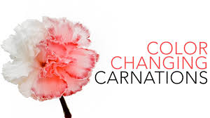 color changing carnations sick science 020 youtube