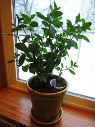 watering plants from their base growing mint indoors urban