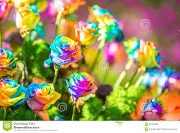 Colored Roses Bouquet Of Colored Roses Rainbow Rose Stock Photo Image 65392864