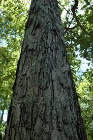 White Oak Tree Fagaceae Quercus Alba White Oak Lab 01