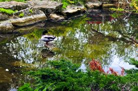 pond with natural stones in japanese zen garden stock photo