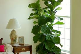 category indoor plants u203a u203a page 0 contemporary indoor plants