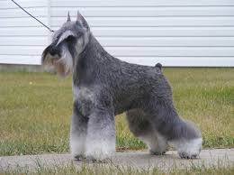 schnauzer hair cut step by step clipping a standard schnauzer yahoo image search results