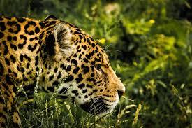 free images nature animal wildlife zoo feline predator