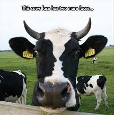 Funny Cow Memes - cow with three faces picture
