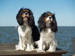 Causes Of Sudden Blindness In Dogs Managing Eye Conditions In Dogs Symptoms Types Causes And