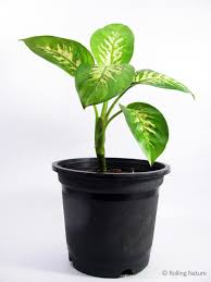 dieffenbachia a broad leaved foliage plant with thick succulent