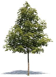 cut out small maple tree cut out trees and plants vishopper