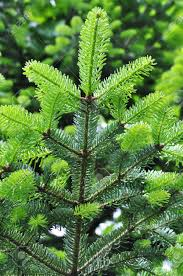 needle leaf pine tree in its environment stock photo