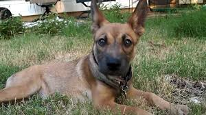 american pitbull terrier qualities german shepherd pitbull mix u2013 breed info characteristics and