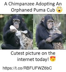 Chimp Meme - a chimpanzee adopting an orphaned puma cub cutest picture on the