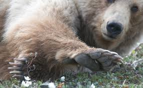 grizzly claws file claws 5302559808 jpg wikimedia commons