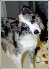 australian shepherd up for adoption 20 best puppies up for adoption images on pinterest adoption