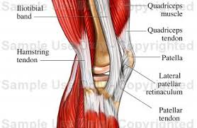 Interactive Knee Anatomy Tendons Of The Lateral Knee Medical Illustration Human Anatomy