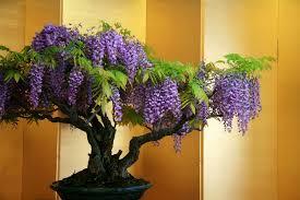 wisteria bonsai trees