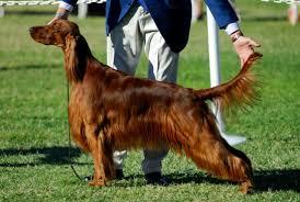 13 behind the scenes secrets of dog show handlers mental floss