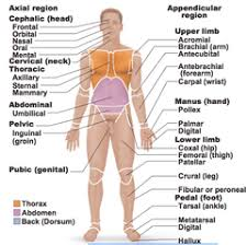 Directional Terms Human Anatomy Anatomical Position Anatomy And Physiology Pinterest