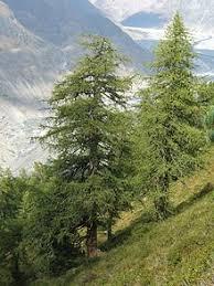Decorative Trees In India Tree Wikipedia
