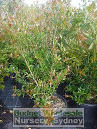 best australian native hedge plants acmena firescreen extra large 300mm pot budget wholesale nursery