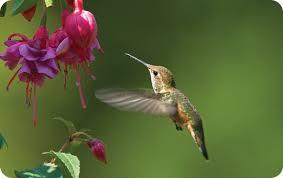 Hummingbird On A Flower - hummingbirds wild birds unlimited wild birds unlimited