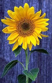 53 best sunflowers images on pinterest sunflower garden flower